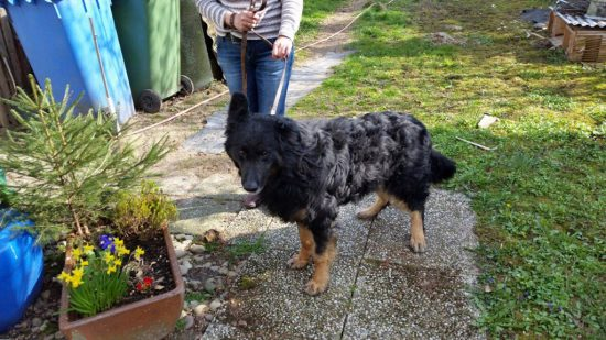vermitttlung_altdeutscher schaeferhund paul5