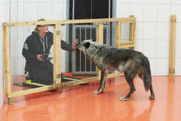 Wwolfsforschungszentrum Wolf Testhaus