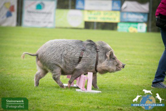 Schwein Agility