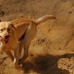 Larbrador rennen spielen toben