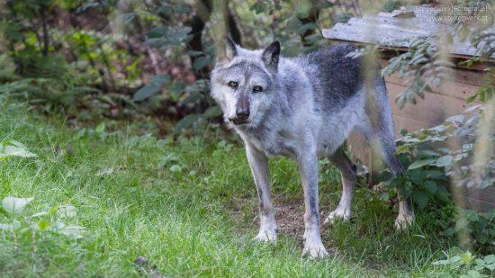 Mähnenwolf Tierwelt Herberstein