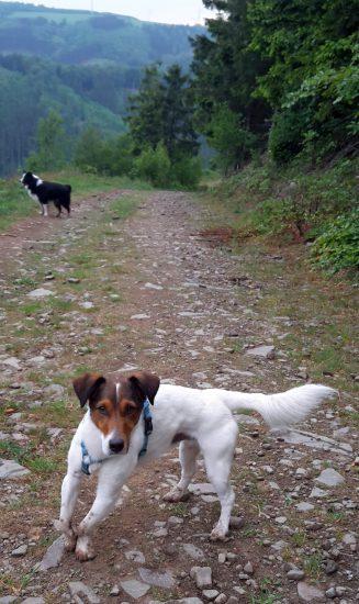 Terriermix auf Wanderung