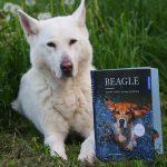 Beagle – Geschichte, Haltung, Erziehung, Beschäftigung von Sophie Strodtbeck