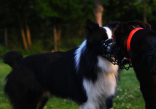 Labrador begrüßt Hund