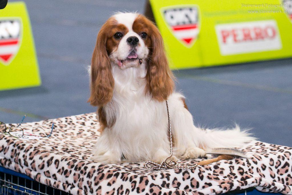 Cavalier King Charles Spaniel auf der Hundeausstellung