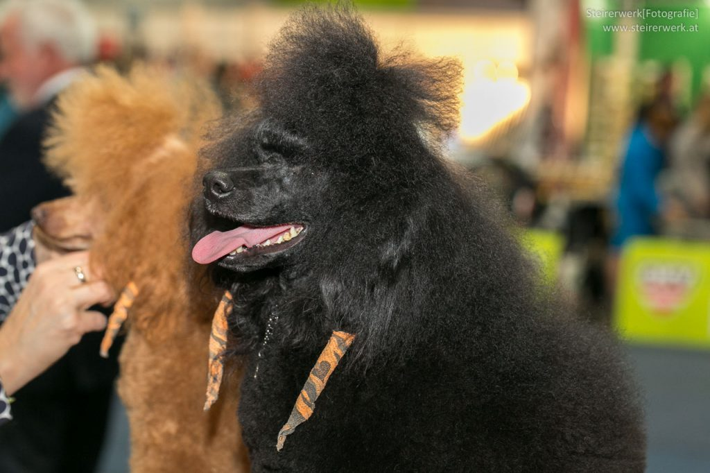 Hundestyling Pudel