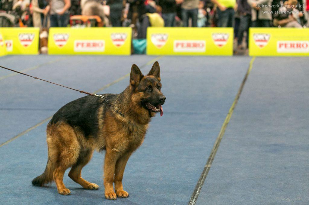 Schäferhund Rassehundeausstellung