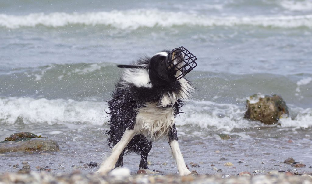 Hund mit Maulkorb am Strand