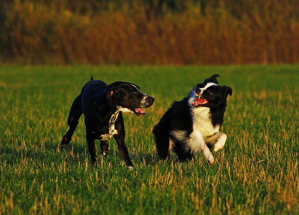 Spiel unter Hunden
