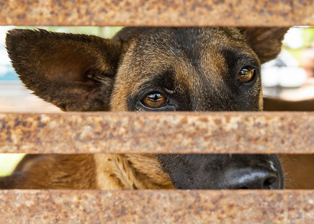 Hund im Käfig in Kambodscha