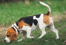 Beagle Hunderasse
