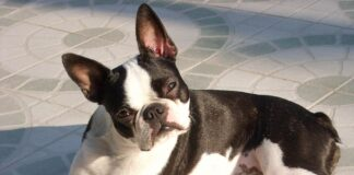 Boston Terrier Hunderasse