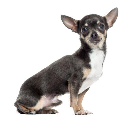 Chihuahua Kurzhaar Hunderasse
