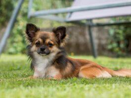 Chihuahua Langhaar Hunderasse