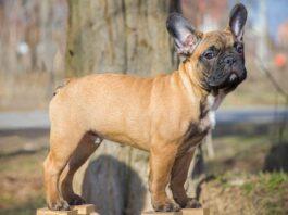 Französische Bulldogge Hunderasse