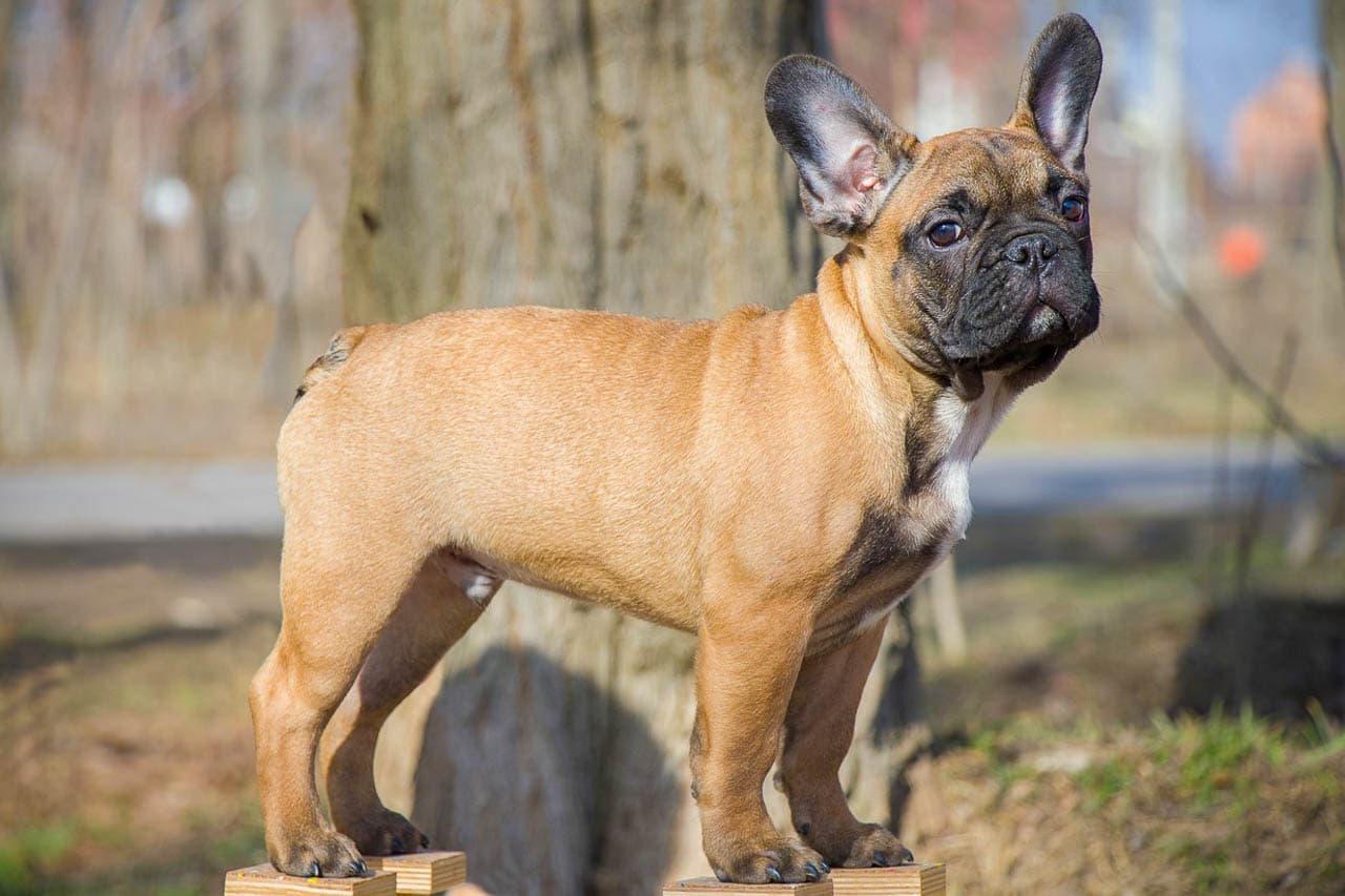 Franzosische Bulldogge Charmante Lustige Samtpfote Planet Hund