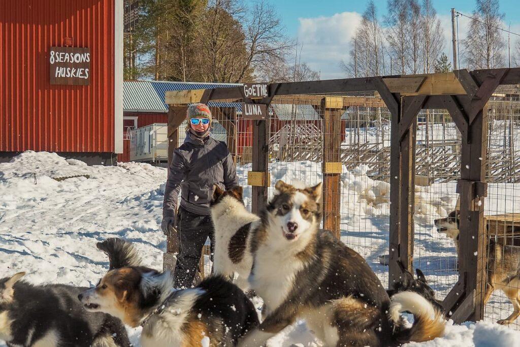 8seasonshuskies Schlittenhunde