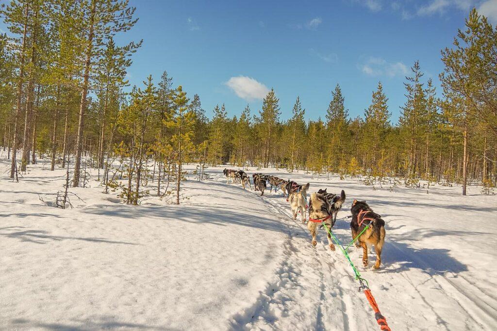 Schlittenhunde Winterlandschaft