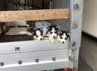 Hundewelpen Polizei Leoben
