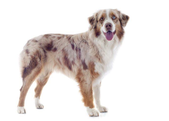 Australian Shepherd Hunderasse